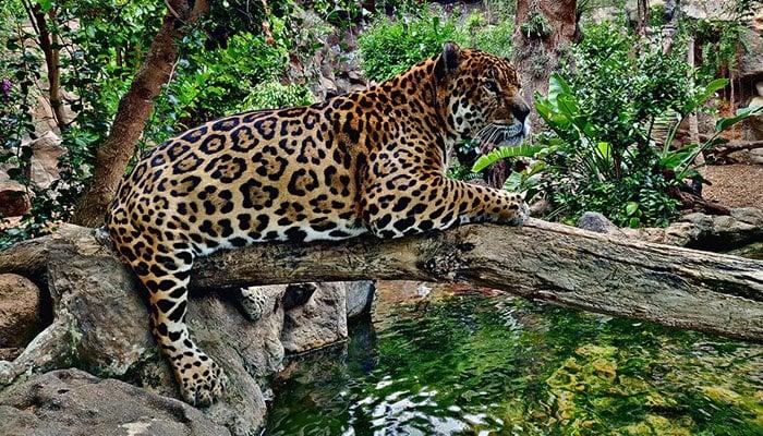 Leopard in Loro Parque