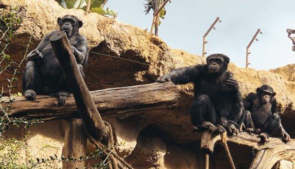 Apen ontspannen in Loro Parque