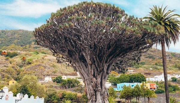 Dragon tree of Tenerife