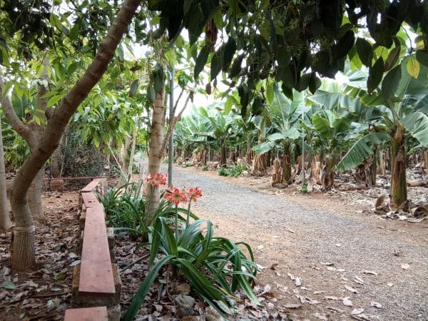 You can visit a banana farm by ordering tickets from tour company Club Canary