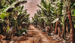 A plantation where Tenerife's banana come from