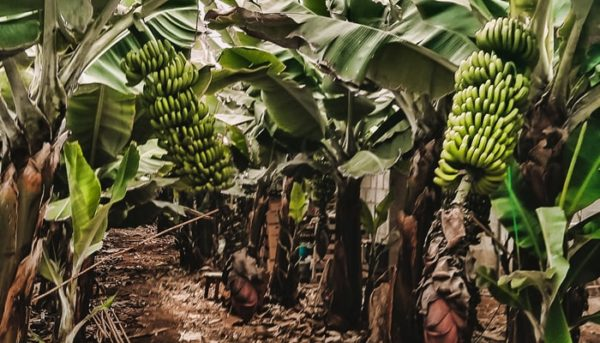 A large banana plantation in tenerife that you can visit by making a reservation through tour agency club canary