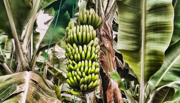 You can see here some bananas from the banana farm in Tenerife