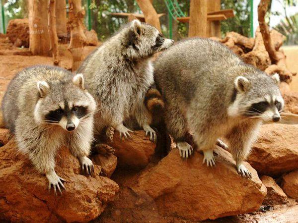 Raccoons in Jungle Park Zoo