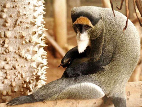 Ape in Tenerife Jungle Park