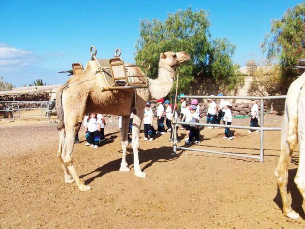 Club Canary arrange tickets for camel rides in the camel park