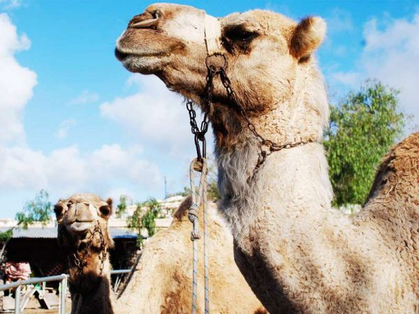 Day out to the camel park of Tenerife