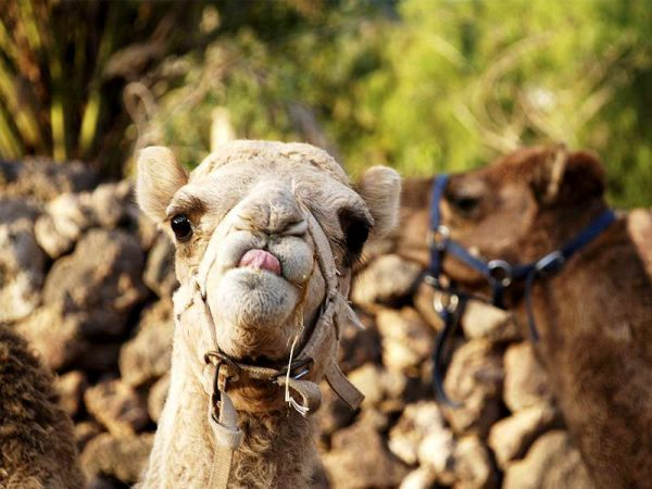 Club Canary offers tickets for a camel safari in Tenerife