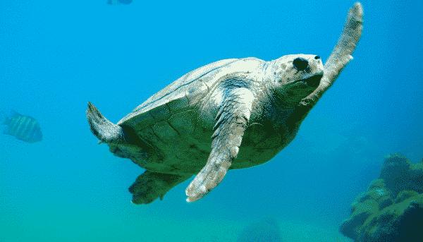 Sea turtle off the coast of Tenerife