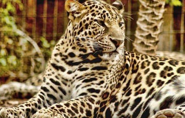 Jaguar in Jungle Park